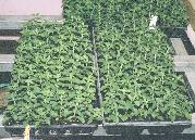 pure, natural, organic, flat of 70 stevia plants